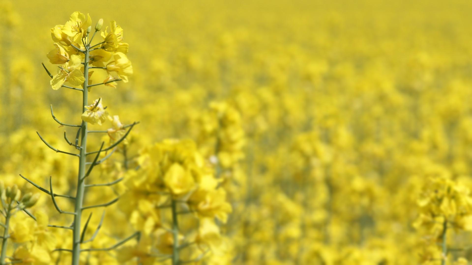 Rape seed monoculture
